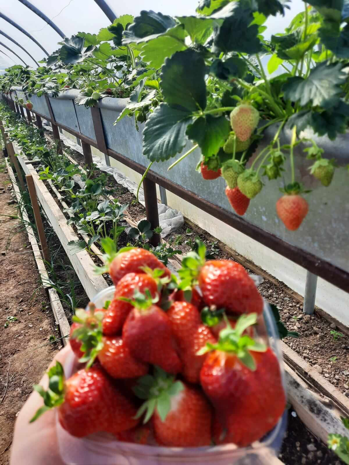 pigspit farm to fork strawberries
